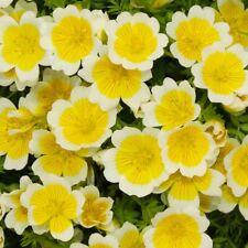 SPIEGELEIBLUME 50 Samen LIMNANTHES DOUGLASII Duft BODENDECKER Egg Plant seeds