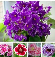 Gloxinia Seeds Perennial Flowering Plants mixed color flower seeds Sinningia Spe