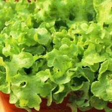 Lettuce Crunchy Leaf Pkt 100 seeds