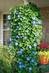 30 MORNING GLORY TRAILING Ipomoea Tricolor SEEDS Blue Flower for Hanging Basket