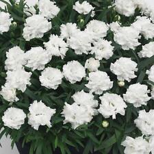 Paquete x6 Dianthus sunflor 'Blanco Cosmos' Rosas Perenne Jardín planteros