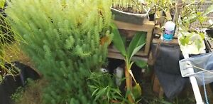 PARROTS FEATHER,20 PLANTS,POND ,WATER GARDEN,BIOFILTER,100% ORGANIC GROWN