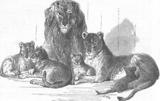 BRISTOL. Family of lions in the zoo, antique print, 1855