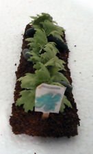 "Dollhouse miniatures 1:12 vegetable garden row, Cucumbersr. 4"" x 1"""