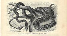 Stampa antica SERPENTI COLUBER QUADRILINEATUS1891 Old antique print