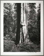 BONNIERE 16X20 SILVER GELATIN PHOTOGRAPH,S/N, SEYMOUR B.C. LARGE CEDAR,CANADA