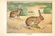 """1926 Vintage ANIMALS """"JACK RABBIT"""" GORGEOUS COLOR Art Print Plate Lithograph"""