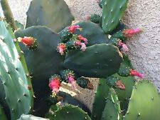 Spineless thornless edible Nopales Prickly pear cactus, 6 pads