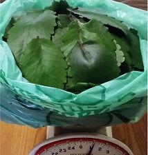 1 full lb. of Kalanchoe Pinnata, Miracle Leaf, Life Plant, Goethe Plant Leaves
