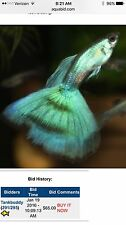 Young Pair Of Super Nice Moscow Green Guppies! FAST SHIPPING!