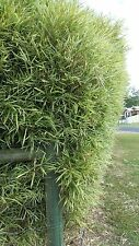 Malay dwarf variegated clumping bamboo shrub plant grows 3meters