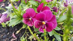 Hornveilchen Nr.20 * Viola cornuta * 30 Blumensamen * handverlesen