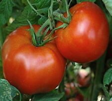 500 Rutger's Heirloom Tomato Seeds + Gift - COMB S/H