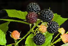 RARE 4 graines de FRAMBOISE NOIRE(Rubus Occidentalis)H402 BLACK RASPBERRY SEEDS