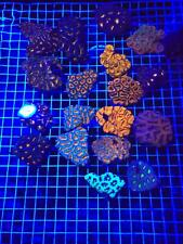 Live 5x ACANS 2-4 Polyps Coral Frag Saltwater Reef MICROMUSSA LPS SPS