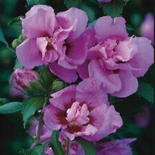 Hibiscus Syriacus *ROSE OF SHARON* x1 seedling DOUBLE PLUM No WA TAS NT
