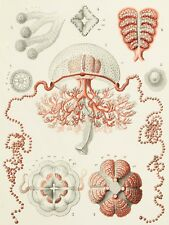 NATURE MEDUSAE HAECKEL SCIENCE LARGE WALL ART PRINT POSTER PICTURE LF2046