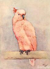 Cecil Aldin Cockatoo White Ear & Peter 1912 Art Repro Photo Print Picture No.3