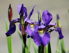 5 - Blue Flag Iris Versicolor Tubers, Perennial Purple Flower Bulbs Seeds
