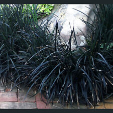 Black Mondo Grass Plant Potted Great For Container Gardens - Shade Planting