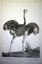 STRAUSS - sehr grosser Kupferstich um 1801 dekoratives Blatt - Original!