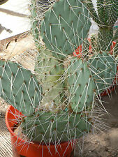 LARGE SPINEY PRICKLY PEAR CACTUS, CACTI WELL ROOTED ESTABLISHED BORDER PLANT