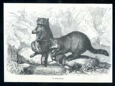 Raccoons...wood engraving...1868