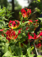 Rare Exotic Flame Lily, Gloriosa superba Seeds Shipped From Canada