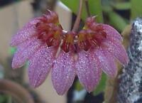 Rare orchid species Seedling - Bulbophyllum corolliferum x Bulbophyllum lepidum