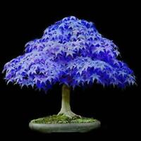 10pcs Bonsai 10X Plants Maple Rare Blue Potted Tree Seeds Home Garden Dec w/ Fas