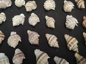 "LOT OF 28 CROWN CONCH SEA SHELLS 1.5"" - 1.75"" BROWN WHITE OCEAN NAUTICAL DECOR"