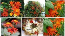 Mexican Flame Orange Flowered Vine Over 100 Seeds