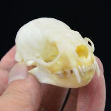 Real mink skulls, fine animal specimens, skull gifts 6*3.5 cm