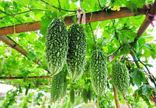 Momordica Charantia  15 seeds bitter gourd for planting herbal Best from Thai