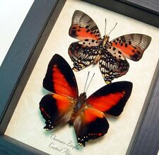 Real Framed Shining Red Charaxes Zingha Butterfly Set 219P