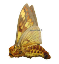 Unmounted Butterfly/Saturniidae - Citheronia andina, male, Bolivia, A1/A-