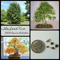 20+ KOREAN HORNBEAM TREE SEEDS (Carpinus turczaninowii) BONSAI Rare Deciduous