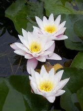 Hardy Water Lily. Full Size Plant full Leaf. Carnea White / Pale Pink Flowers.