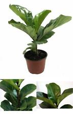 "Plant Fiddleleaf Fig Tree Ficus Indoor Tree 6""Pot Easy to Grow House Best Gift"