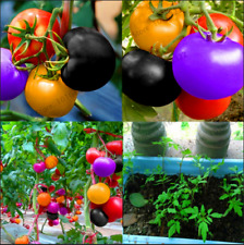 Rainbow Tomato 100 PCS Seeds Rare Bonsai Ornamental Organic Vegetables Plants R