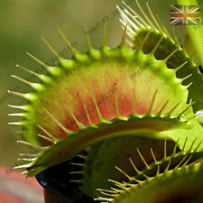 DIONAEA MUSCIPULA,Big Vigorous Clone Venus Fly Trap,Carnivorous-10 Fresh Seeds