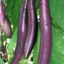 AUBERGINE EGGPLANT FENGYUAN PURPLE ASIAN HEIRLOOM 20 PROFESSIONAL Organic seeds
