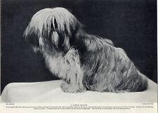 LHASA APSO ON OLD 1930'S ORIGINAL DOG PRINT