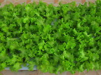 100% HYDROPONIC SEEDS 2,700 Thai Green Lettuce Seeds Lactuca Sataiva Vegetable