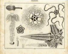 1843 OKEN LITHOGRAPH starfish, gorgon's head, brittle star, sea lily, ...