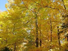 (2) Sugar maple tree seedlings