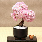 Cherry Blossoms Hot 20PCS Sakura seeds Bonsai Tree Flower Japanese Bonsai Seeds