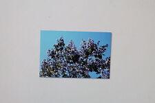 15 Samen Paulownia tomentosa,Blauglockenbaum,riesengroße,megaschöne Blüten,#356