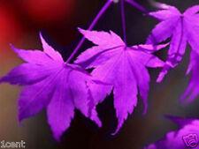 20 seeds of purple ghost Acer palmatum Japanese Maple tree