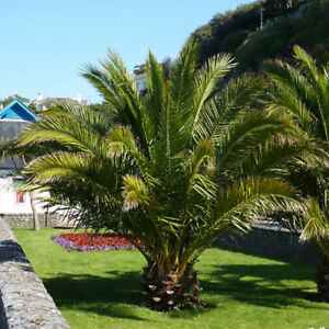 Pair of Hardy Canary Island Phoenix canariensis Date Palm Trees 70-80cm tall